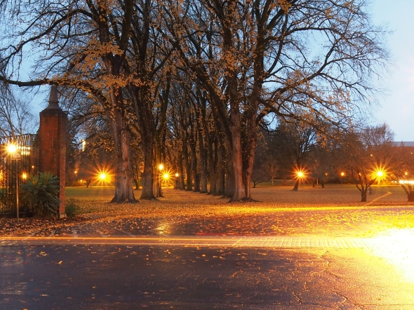 Rows of elm trees, fallen leaves and street lights in twilight