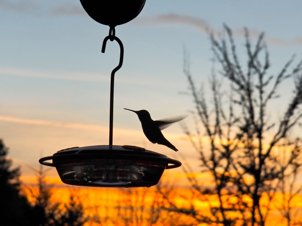 Silhouetted hummingbird hovering at feeder in orange sky of dawn dawn