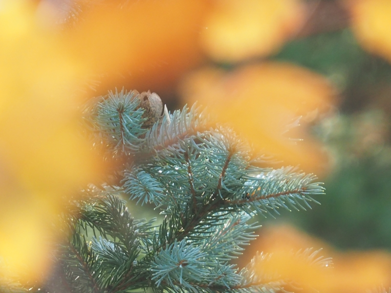 Blue spruce branches and needles