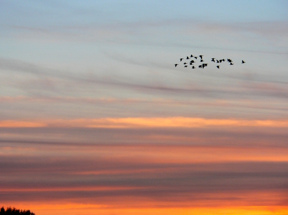 Small flock of Canada geese flying in orange sunset sky