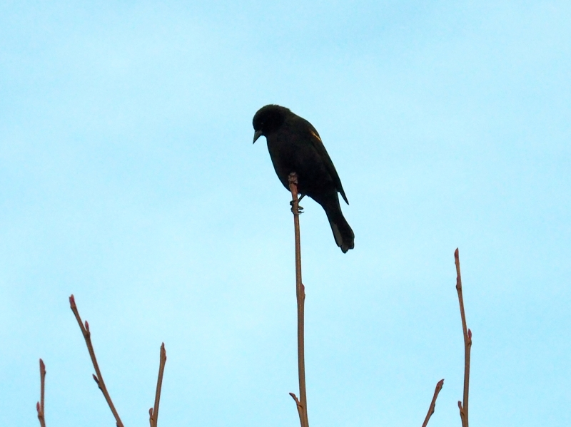 Blackbird silhouetted on small branches