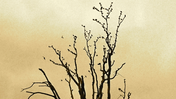 Silhouette of bare tree full of birds and sepia sky