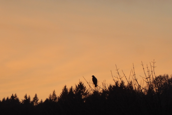 Hawk in silhouette perched in treetop