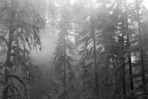 Foggy coniferous forest in black-and-white