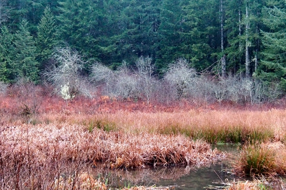 Marsh with small bare trees and large green conifers in background