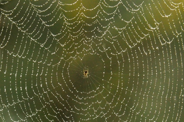 Spider and spiderweb covered with dewdrops