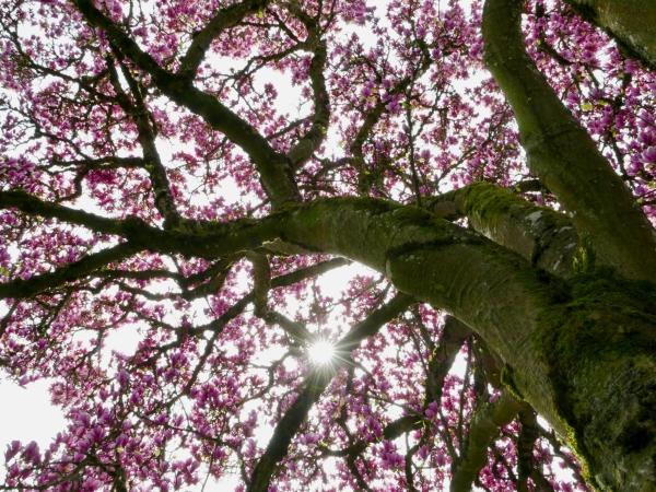 Looking up from the base of a magnolia tree toward the starburst sun, branches and many pink blossoms