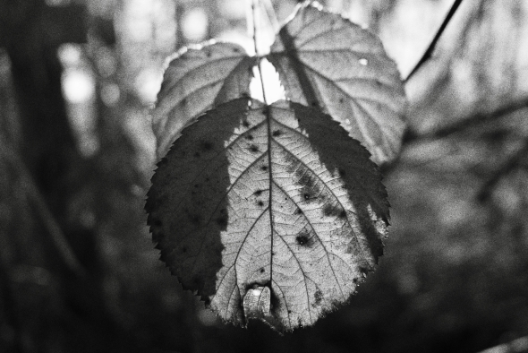 Black & white blackberry leaves