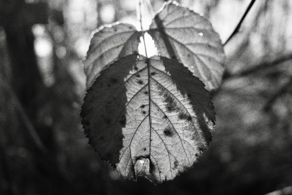 Black & white blackberry leaves