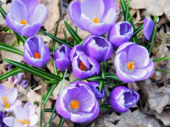 Purple crocuses blooming