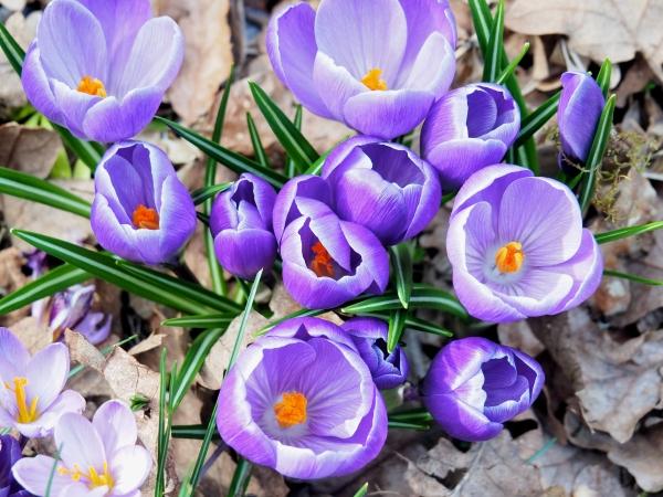 Purple crocuses blooming