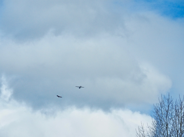 Eagle and airplane flying toward one another