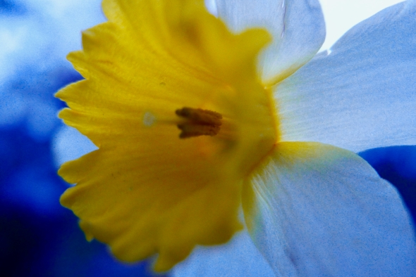 Yellow and white daffodil flower