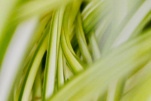 Swirl of green-and-white-striped leaves of spider plant