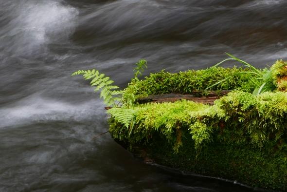 Fern & moss on log in fast-rushing creek