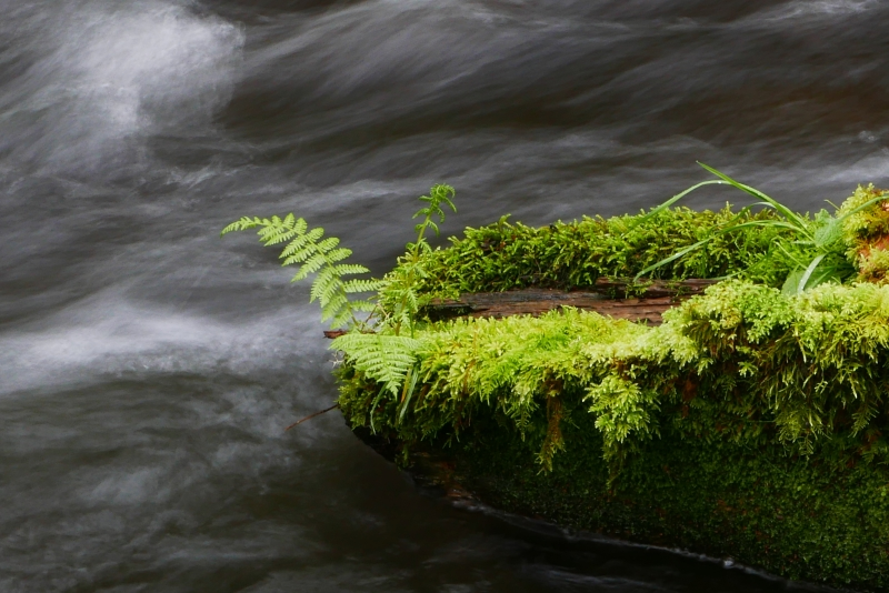 Fern & moss on log in fast-rushing creek