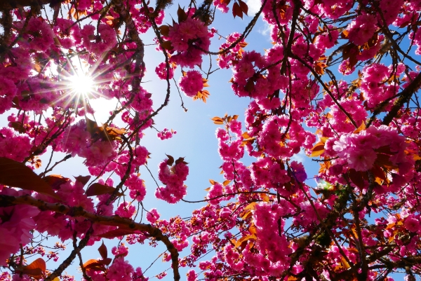 Many pink blossoms and sunburst in sky