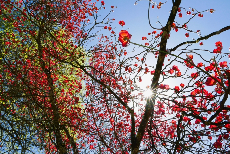 Pink dogwood blossoms and branches with starburst sun