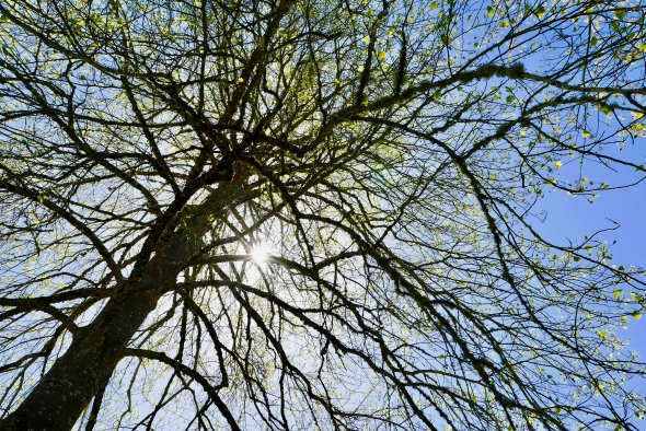 Trunk and branches of poplar tree with green leaves unfurling