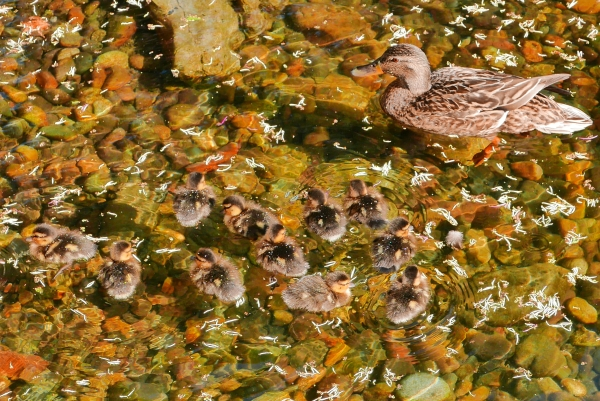 Mother duck with 12 baby ducks in pond