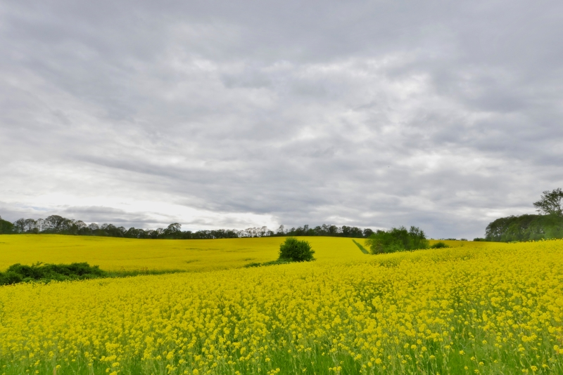 Field of yellow flowers under grey sky