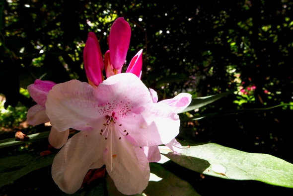 Light pink rhododendron in bloom