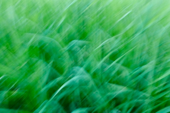 Long green grasses in a blur