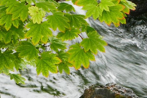 Maple leaves above fast-moving stream