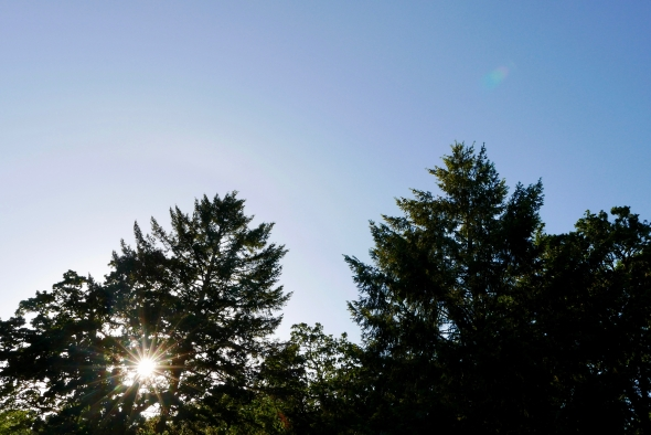 Blue sky and evening sun shining through tall trees