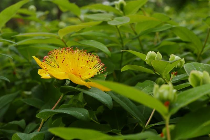 Yellow St. Johnswort flower blooming among green leaves