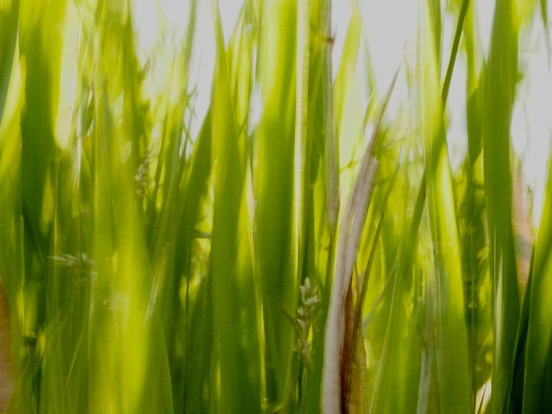 Blurred sunlit grasses