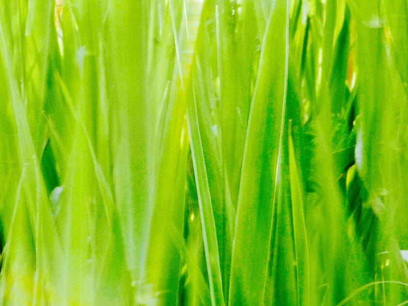 Green grasses waving in breeze