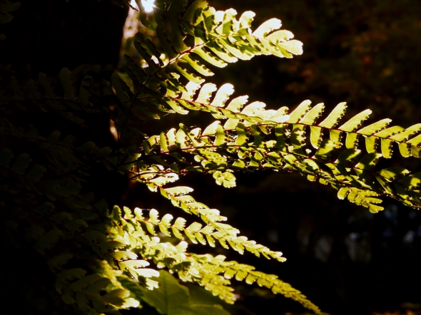 maidenhair fern fronds