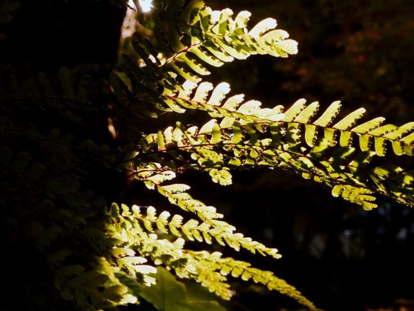 maidenhair fern fronds