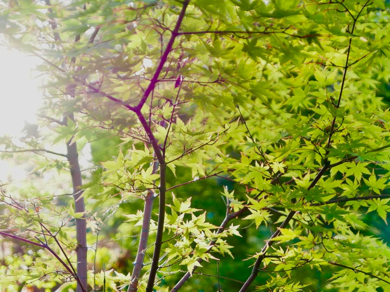Japanese maple tree with swirling green leaves