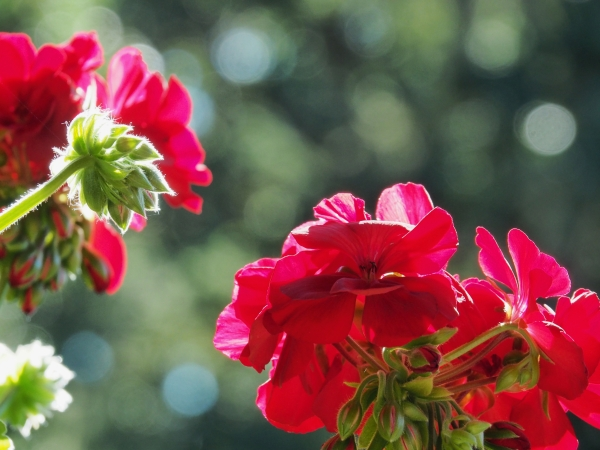 Red geranium flowers and buds