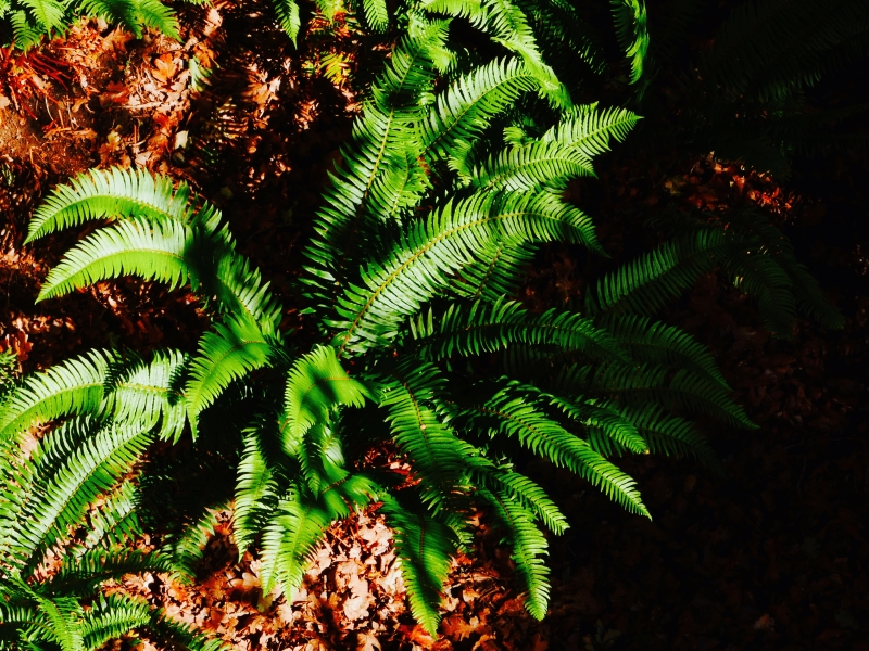 Ferns in sun and shadow