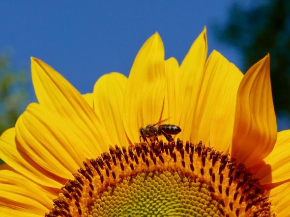 Bee walking on sunflower