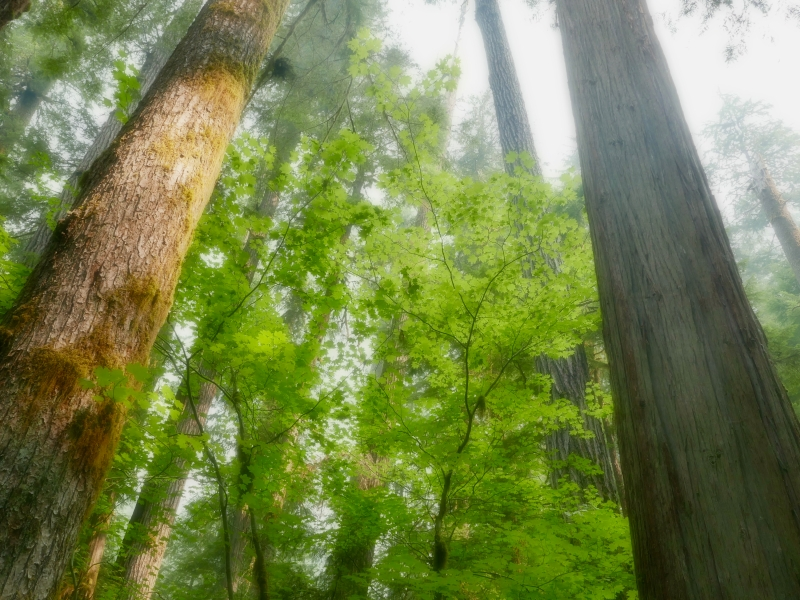 Tall tree trunks and green maple leaves