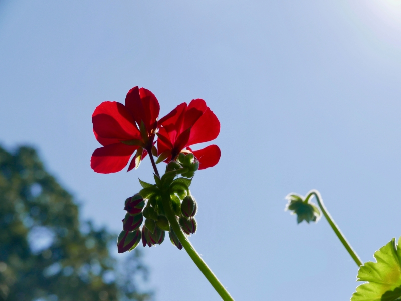 Red geranium blooms and blue sky