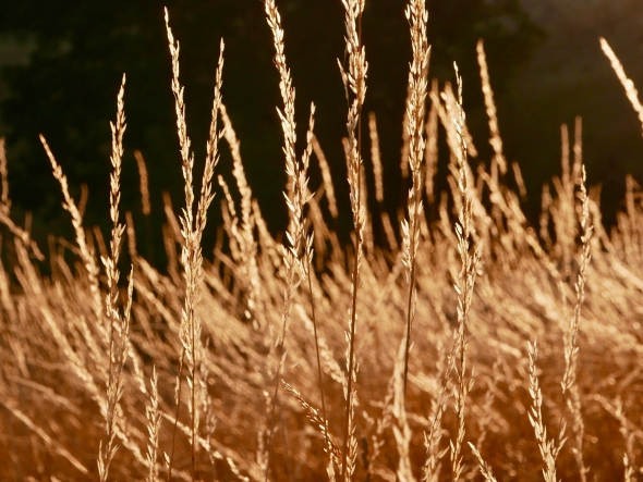 Golden grasses in meadow