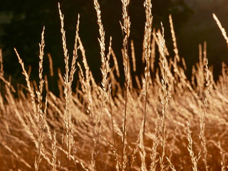 Golden grasses in meadow
