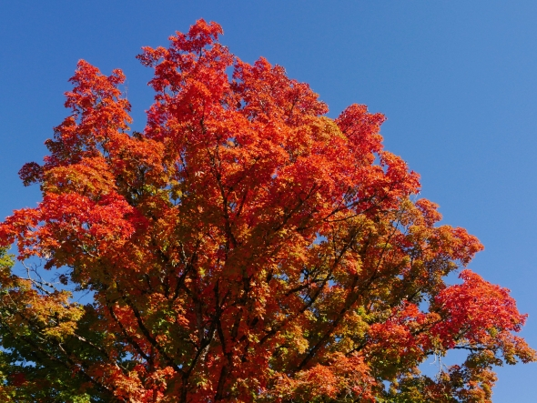 Orange maple tree and blue sky