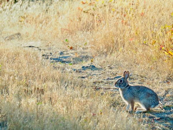 Rabbit amidst golden grasses