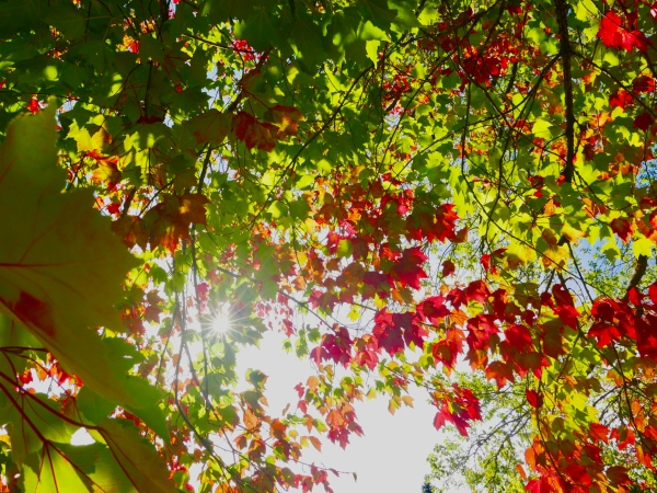 Red and green maple leaves and starburst sun