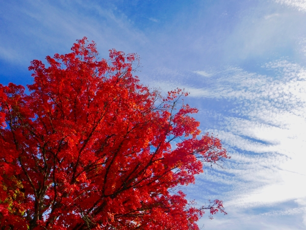 Brilliant red sugar maple tree and blue sky