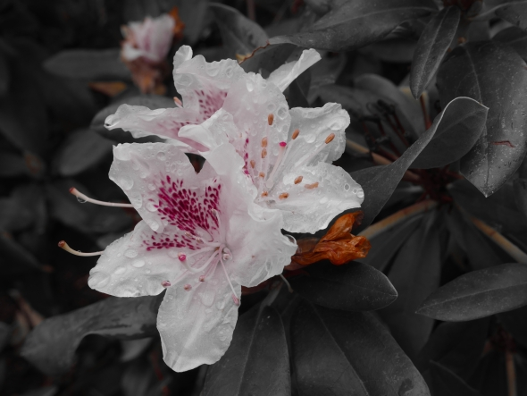 White rhododendron blossoms with pink accents