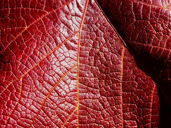 Deep red grape leaf with prominent veins