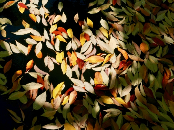 Yellow, orange and white leaves in black water