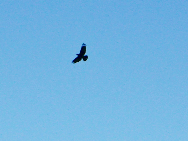 crow soaring in blue sky